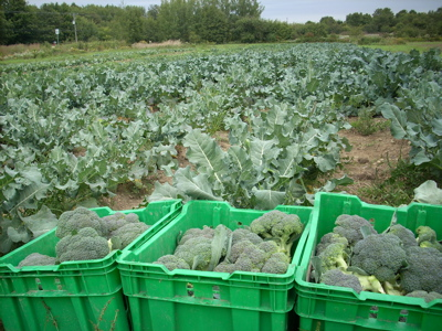 Antoine's farm produces more than 30 varieties of vegetables - like this brocoli for instance.